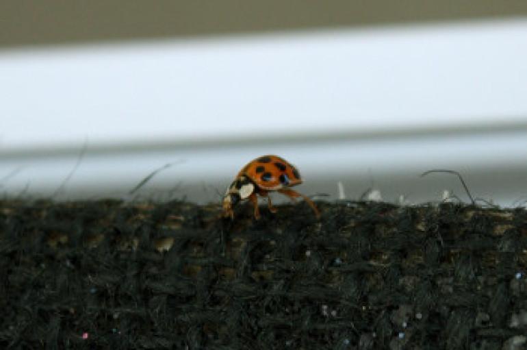 Ladybugs Run Rampant