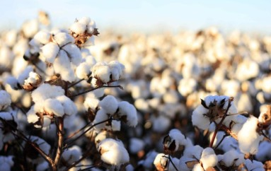 Amendment 1: Say No to Big Cotton on Tuesday