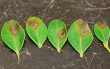Boxwood Blight Detected in Alabama Landscapes