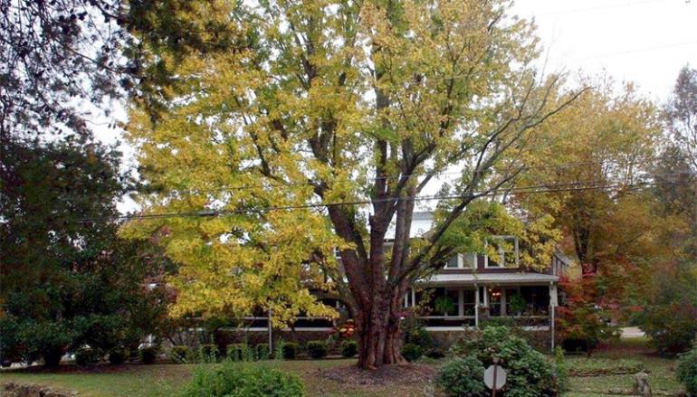 Mentone loses historical tree