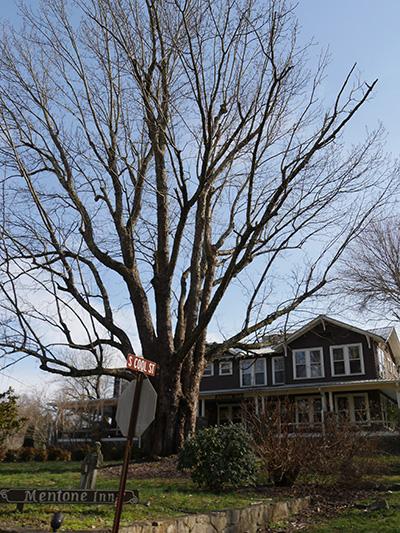 Mentone tree
