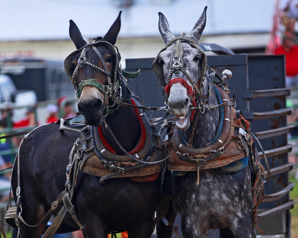 Ider hosts it's 30th Mule Day this Monday