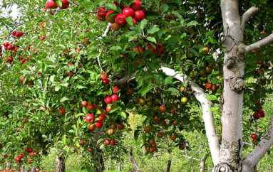 The Orchard that helped Grow Rainsville