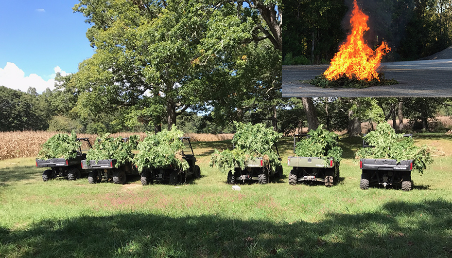 Over 1500 Marijuana Plants found in DeKalb destroyed yesterday