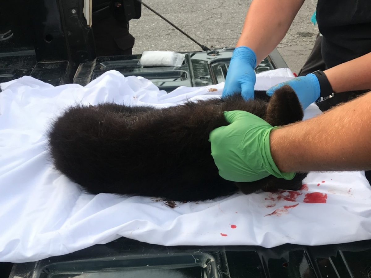 Bear Hit Close to Little River Canyon