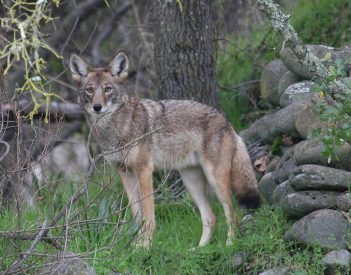 Alabama to allow night hunting of coyotes, feral hogs